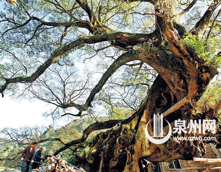 安溪千年榕树冬日长新叶