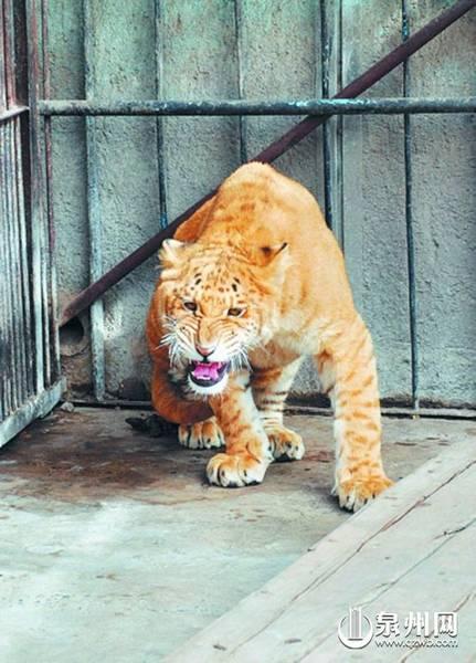 深圳野生动物园引进的一只罕见虎狮兽