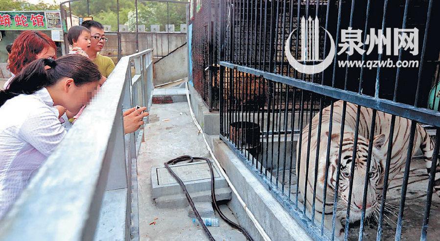 不文明行为频发:泉州东湖动物园内游客用铁棍捅老虎
