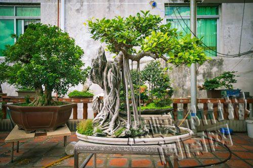 阳台种盆景榕树