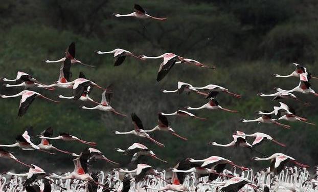 """(国际)(5)博戈里亚湖——火烈鸟""""天堂"""""""