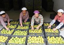 (经济)(3)广西龙胜:特色种植助脱贫