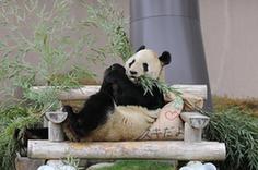 """(国际)(5)大熊猫""""永明"""":我收到礼物了!"""