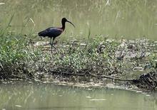 (环境)(2)国家二级保护动物彩鹮现身陕西