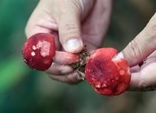 (经济)(1)广西钦州:野生红椎菌迎来收获季